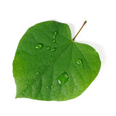 Closeup of a green heart shaped leaf with water drops for love photo metaphor,Isolated on white background