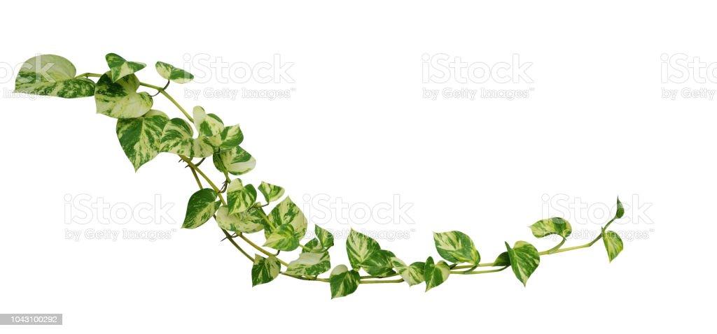 heart shaped leaves vine golden pothos isolated on white background