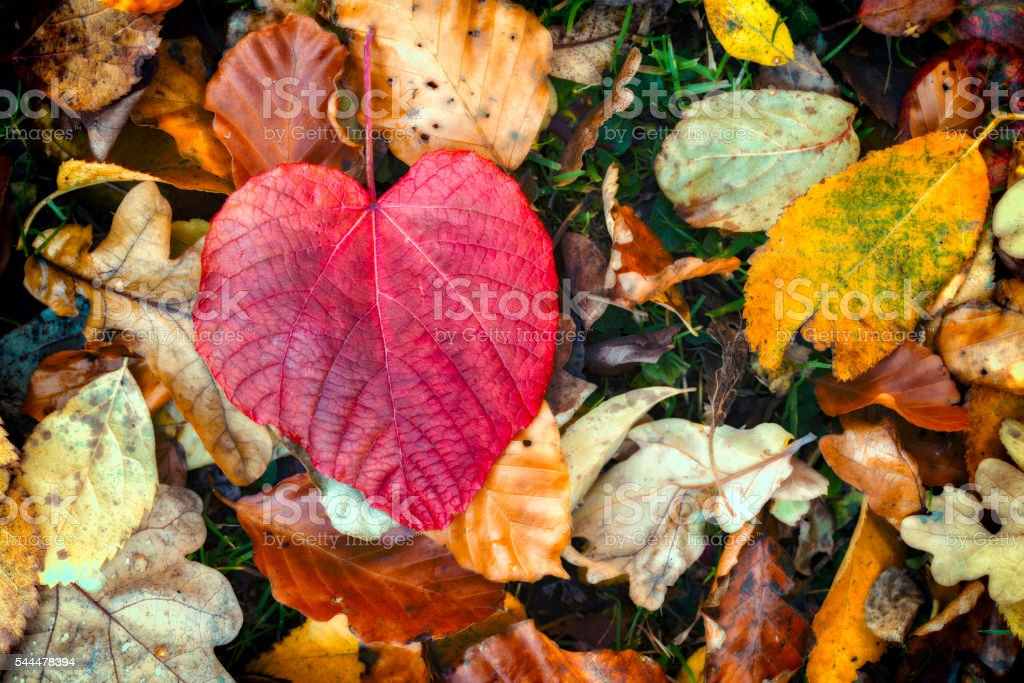 Heart shaped Red Leaf – Foto
