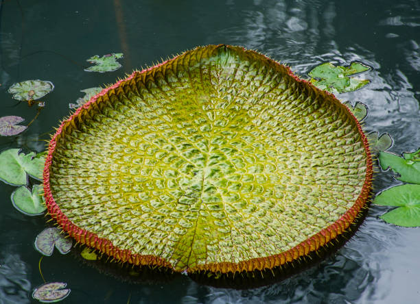 Heart shaped Victoria Leaf Heart shaped Victoria Leaf victoria water lily stock pictures, royalty-free photos & images