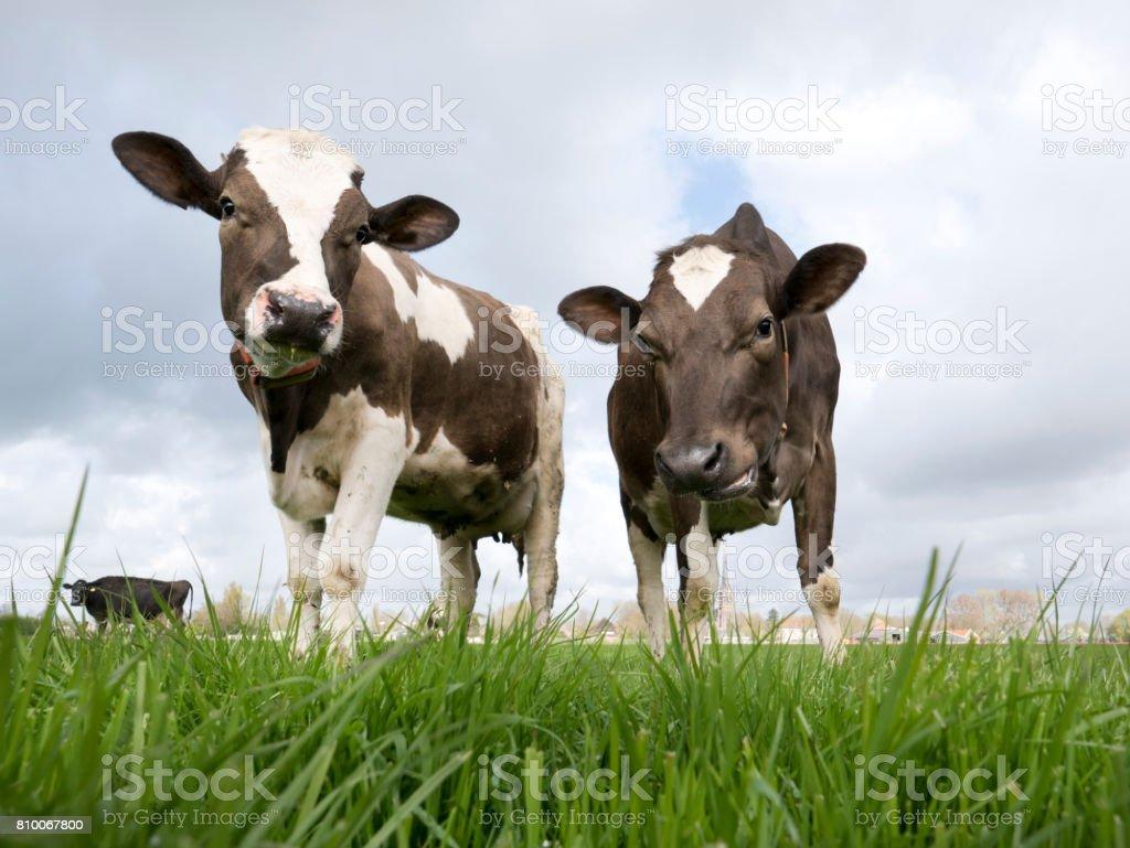 Heart warming Dutch cows stock photo