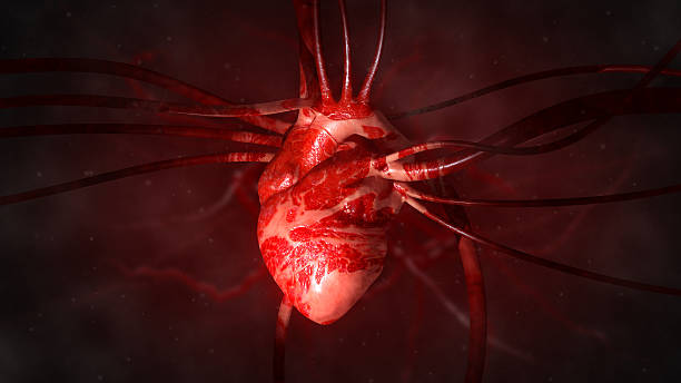 heart with arteries and veins - human heart stock photos and pictures