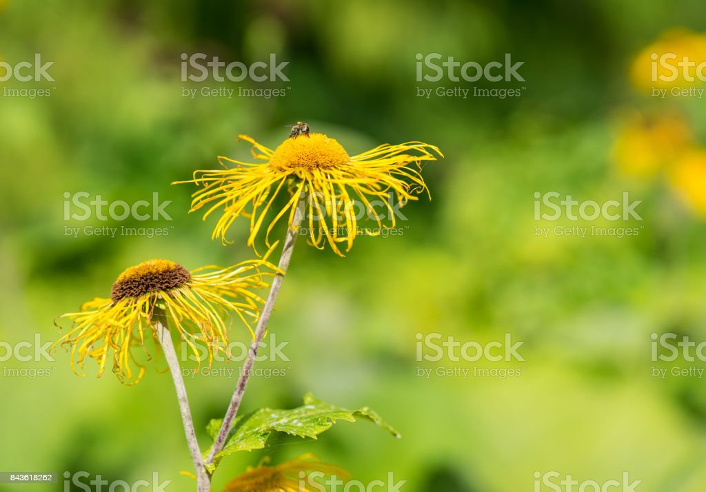 Heartleaf Oxeye with yellow petals stock photo