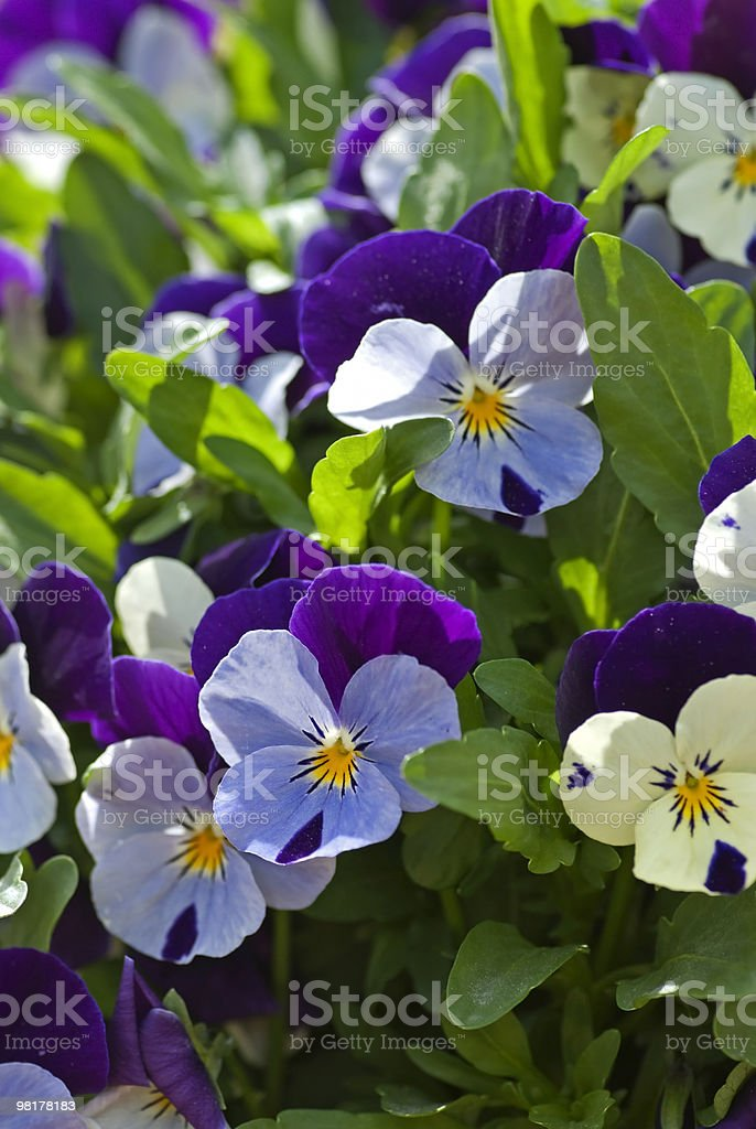 Heartsease flowers growing in a flowerbed in spring. royalty-free stock photo