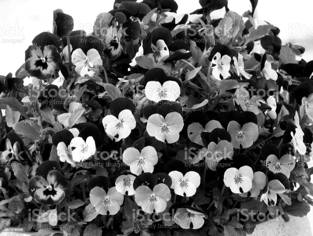 Heartsease stock photo