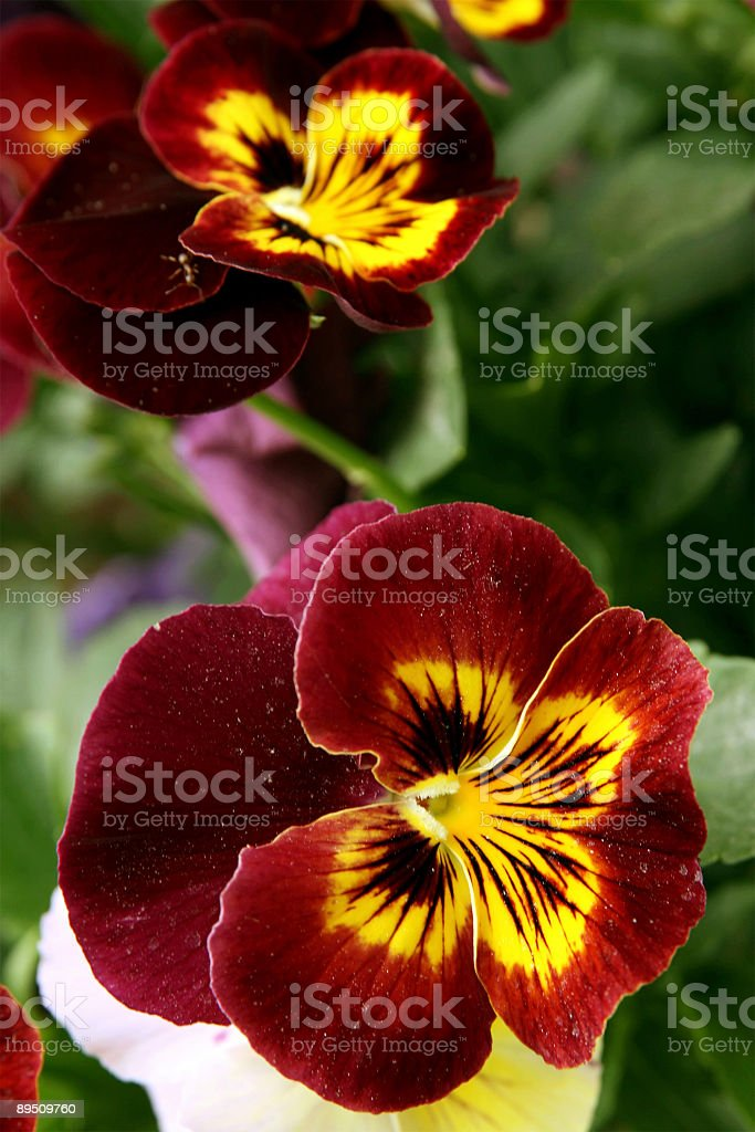 Heartsease royalty-free stock photo