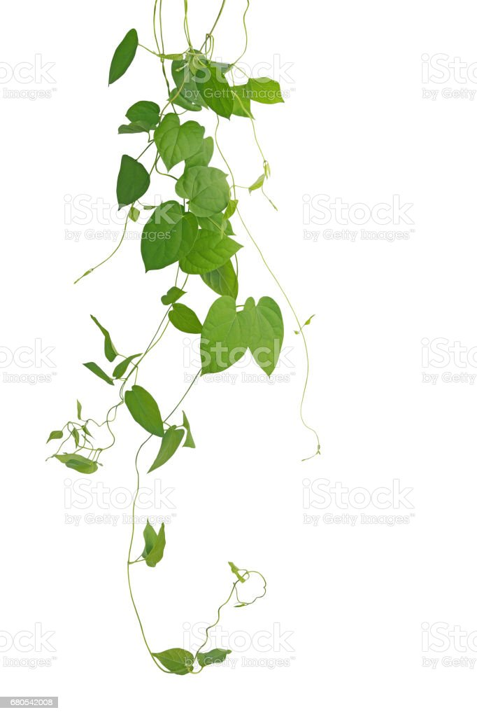 Heart-shaped green leaf climbing vines isolated on white background, clipping path included. Cowslip creeper the medicinal plant. stock photo