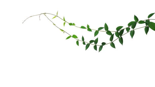 hjärtformade gröna blad vilda klättra vinstockar liana växt isoleras på vit bakgrund, urklippsbana ingår. - slingerväxt bildbanksfoton och bilder