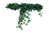 Heart-shaped green variegated leaves of devil\