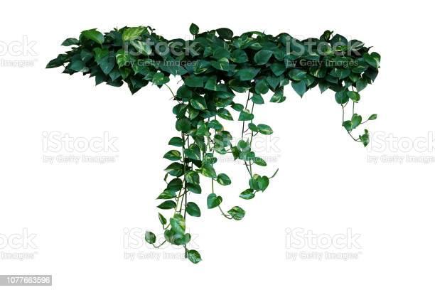 Heartshaped green variegated leaves of devilu2019s ivy or golden the picture id1077663596?b=1&k=6&m=1077663596&s=612x612&h=d3upshj bcke6vlcbxlo25i0afbx5x0 mnahrttkigi=