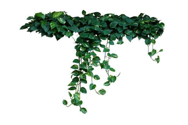 """hjärtformade gröna brokiga blad av djävulen """"u2019s murgröna eller gyllene pothos tropisk skog växten som blivit populära krukväxt, hängande vinstockar bush isolerad på vit bakgrund med urklippsbana. - slingerväxt bildbanksfoton och bilder"""