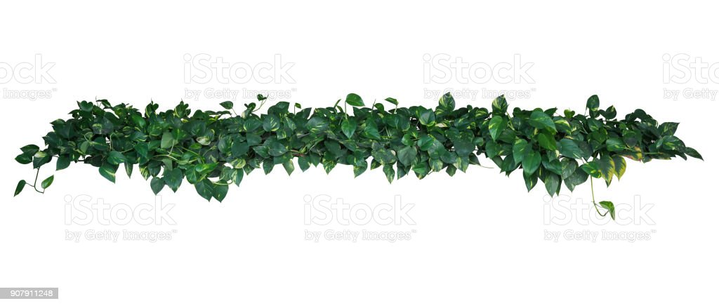 Heart-shaped green yellow variegated leaves of devil's ivy or golden pothos (Epipremnum aureum), tropical plant vines bush isolated on white background, clipping path included. stock photo