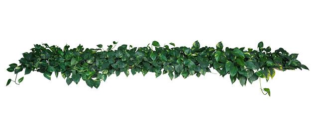 하트 모양의 녹색 노란색 잡 색 잎 악마의 아이비 또는 황금 Pothos 열 대 식물 덩굴 부시에 고립 된 흰색 배경 클리핑 경로 포함 0명에 대한 스톡 사진 및 기타 이미지