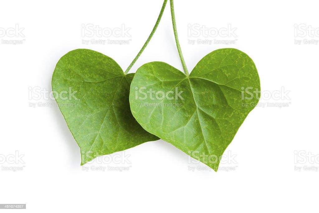 Herzförmige ivy Blätter – Foto