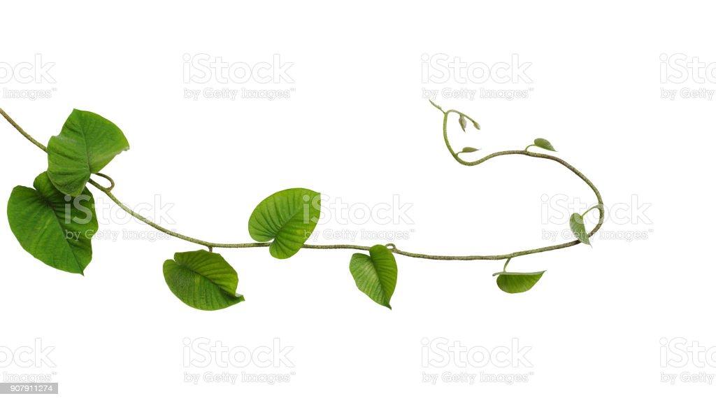 Verde de la selva en forma de corazón sale vid liana tropical planta aislado sobre fondo blanco, clipping camino incluido. - foto de stock