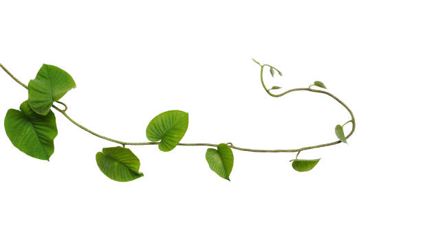 heart-shaped jungle green leaves vine tropical liana plant isolated on white background, clipping path included. - branch plant part stock pictures, royalty-free photos & images
