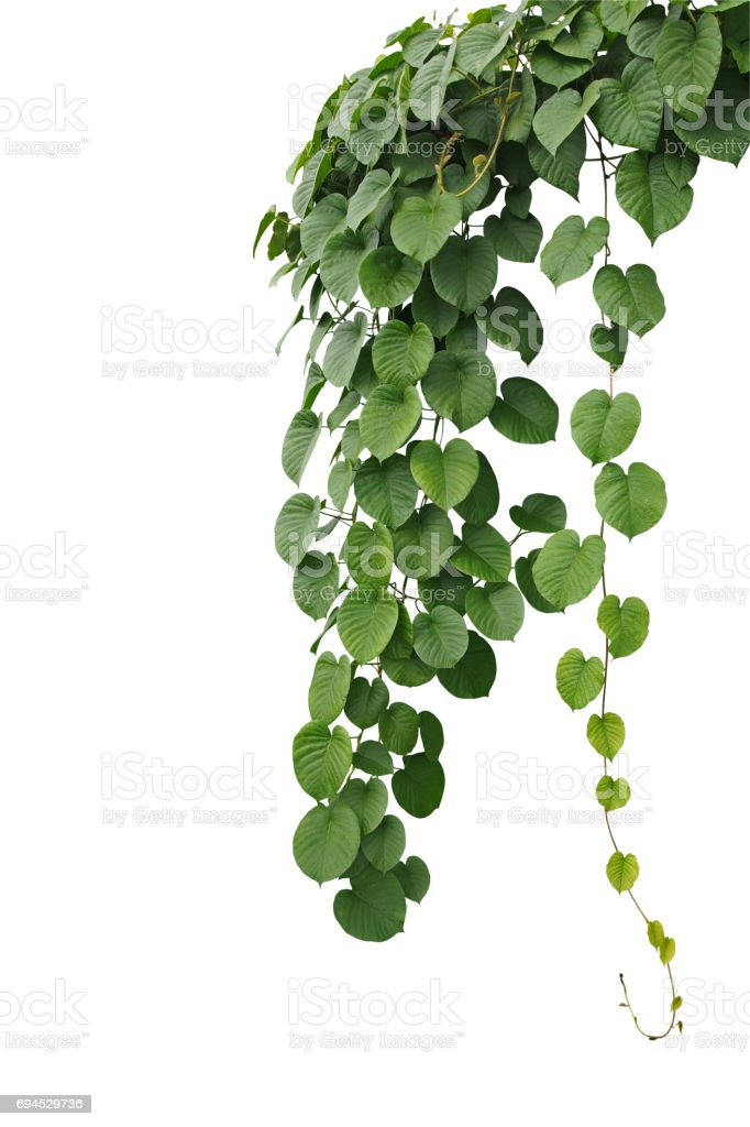 Heart-shaped thick green leaf wild vines, hanging climber vine bush isolated on white background, clipping path included. stock photo