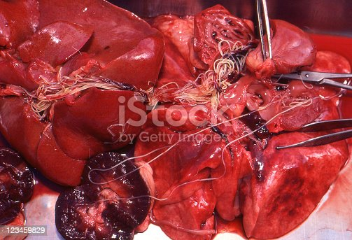 Heartworm (Dirofilaria immitis) exposed in internal organs of a dog during necropsy. Kodachrome scanned film with grain.
