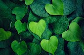 Heart shape of light green leafs against dark green leafs for Love valentine's Day Background.