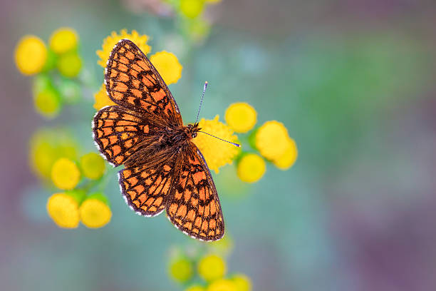 Heath Fritillary Butterfly on Yellow Flowers with Green and Purp The Heath Fritillary (Melitaea athalia) is a butterfly of the Nymphalidae family, found throughout Europe to Japan moor stock pictures, royalty-free photos & images