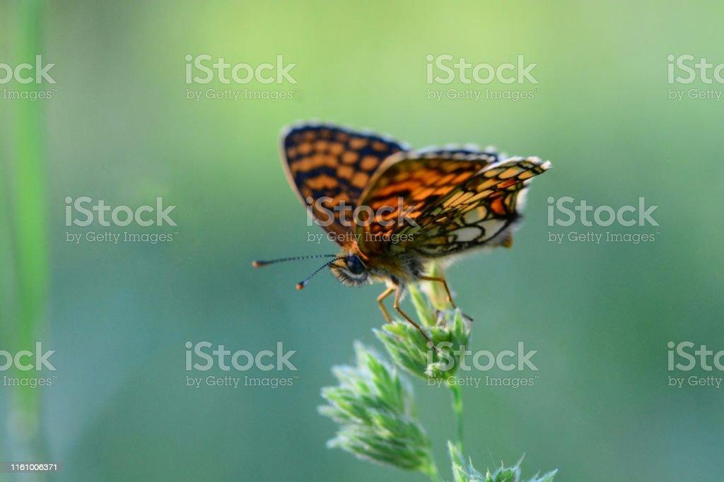 Heath fritillary butterfly Melitaea nevadensis Animal Stock Photo