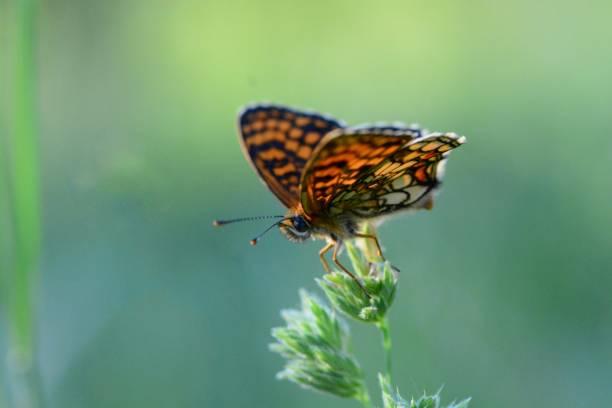 Heath fritillary butterfly picture id1161006371?b=1&k=6&m=1161006371&s=612x612&w=0&h=kmn1u1kbrix uaer8m4p 49thwwwjnauniteyo9vh0w=