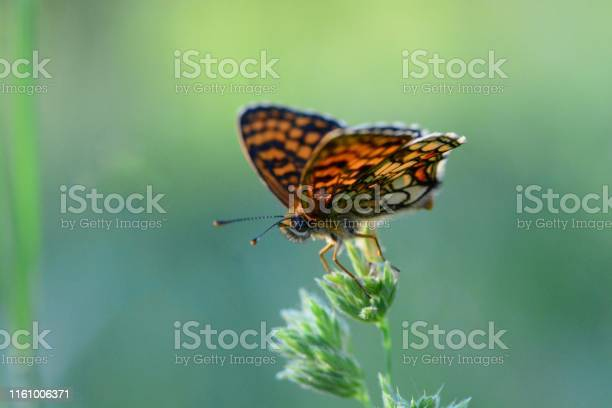 Heath Fritillary Butterfly Stock Photo - Download Image Now