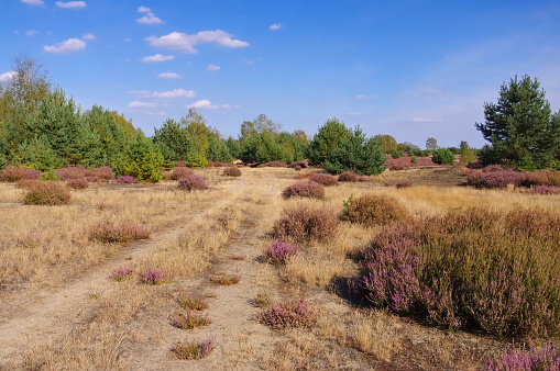 Heath landscape with flowering Heather and path