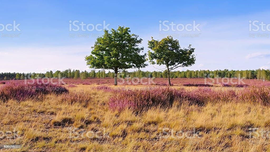 Heath landscape with flowering Heather stock photo