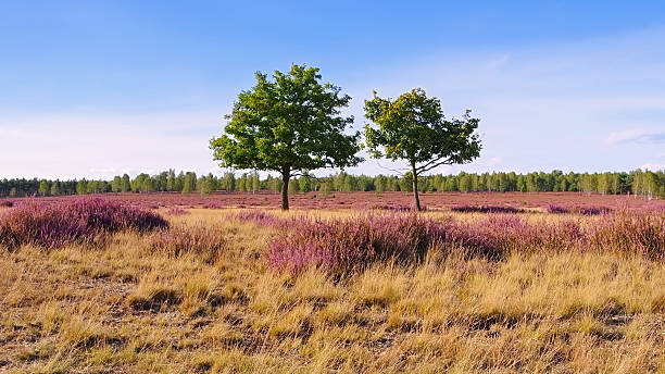 Heath landscape with flowering Heather Heath landscape with flowering Heather, Calluna vulgaris lüneburg stock pictures, royalty-free photos & images