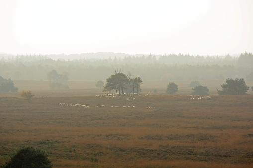 Heath landscape with fog on the Veluwe