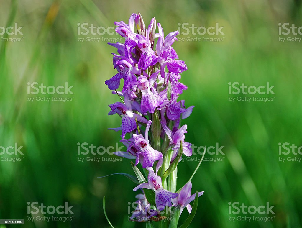 Heath Spotted Orchid stock photo