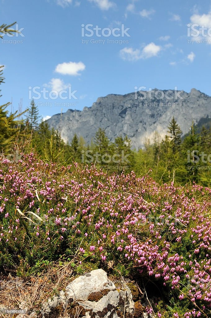 heather erica flowers blooming in mountain alps of Styria Austria stock photo