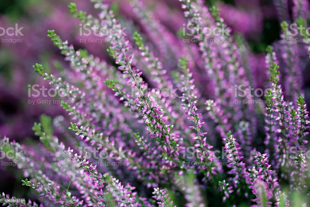 Heather flower field. Calluna vulgaris. Small pink, lilac, violet plants stock photo