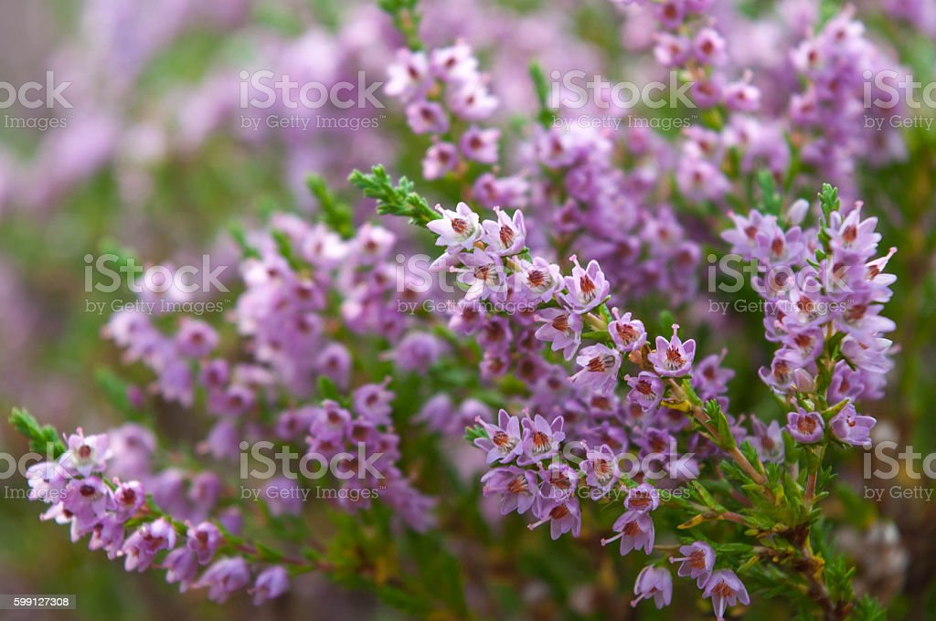 Heather flowers blossom in august stock photo