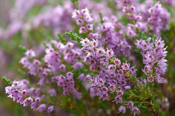 Royalty free erica flower pictures images and stock photos istock heather flowers blossom in august stock photo mightylinksfo