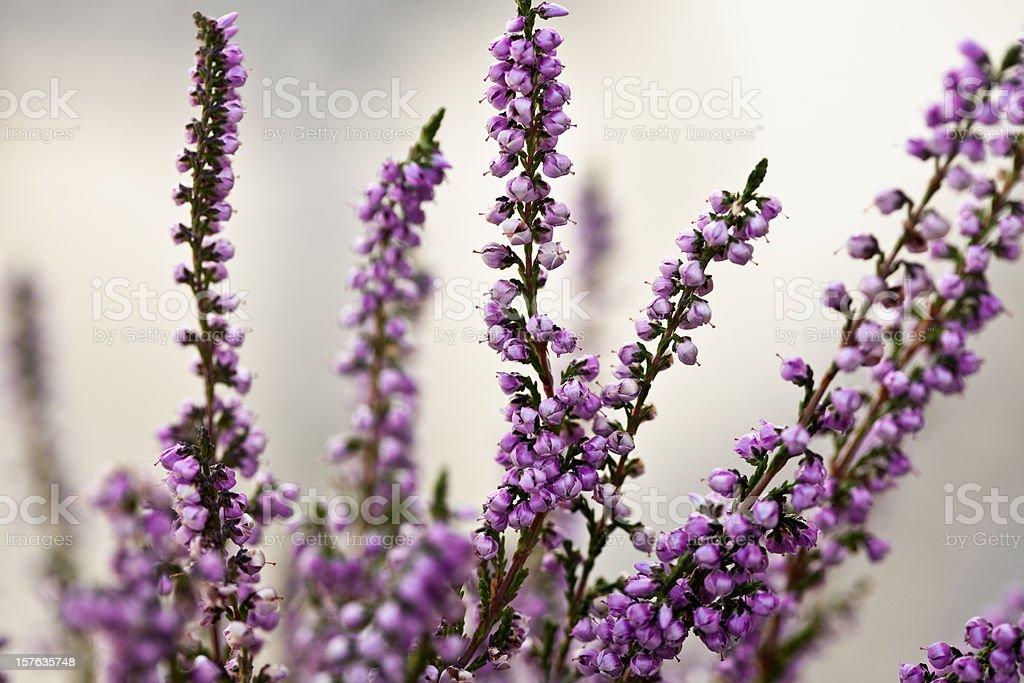 heather flowers stock photo