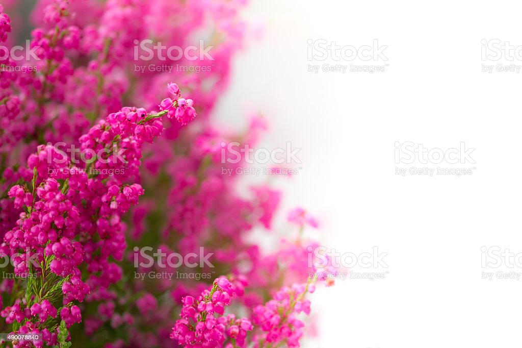 Heather flowers stock photo