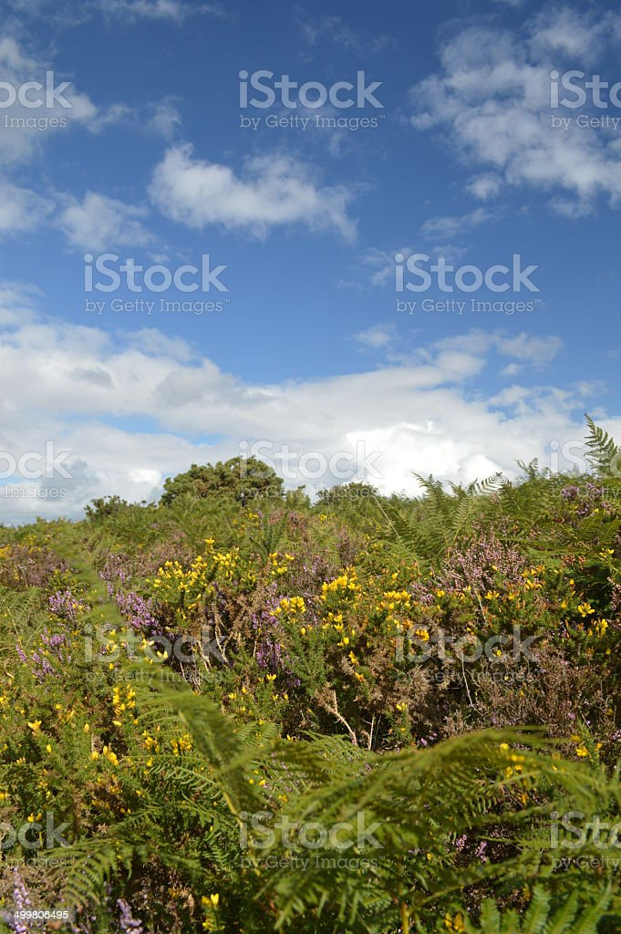 Heather Gorse and Blue Skies in The Ashdown Forest stock photo