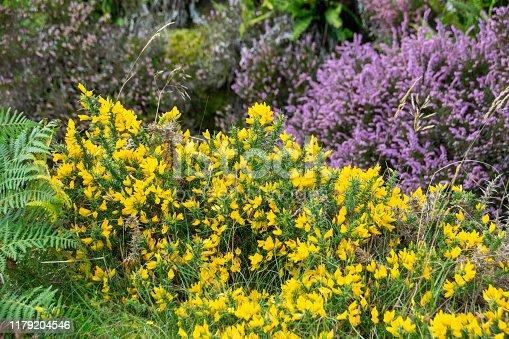 Heather growing in rocks alongside the River Meavy, Dartmoor, Plymouth, Devon