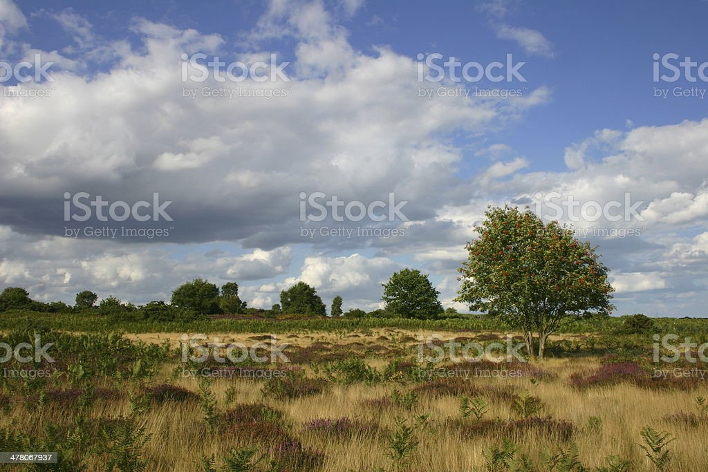 Heather in flower, Snape Warren, Suffolk royalty-free stock photo