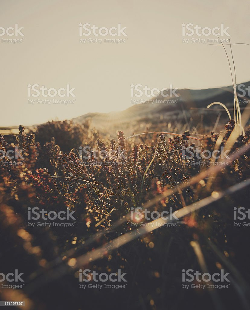Heather in meadow during sunrise royalty-free stock photo