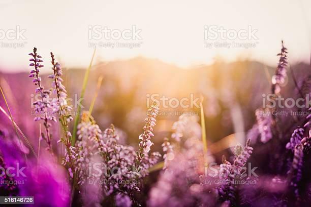 Heather in meadow during sunrise picture id516146726?b=1&k=6&m=516146726&s=612x612&h=rj07grpuqncied saxismybrej065vvrst7b80qdzss=