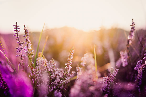 heather in meadow during sunrise - flowers stock photos and pictures