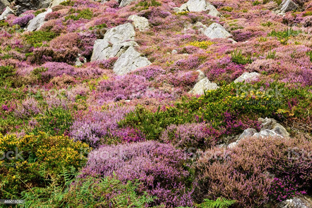 Heather in mountain moorland at Barmouth, Wales stock photo