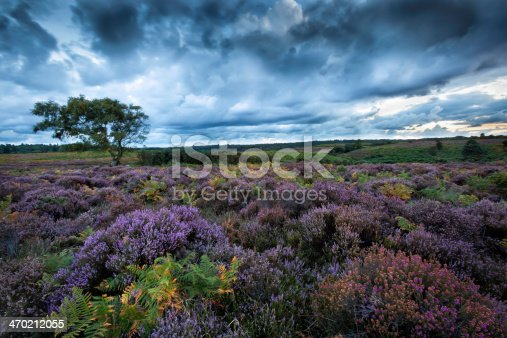 A stunning stormy New Forest scene, with the Purple, and Pink Heather in full bloom, against the backdrop of a dramatic sky.