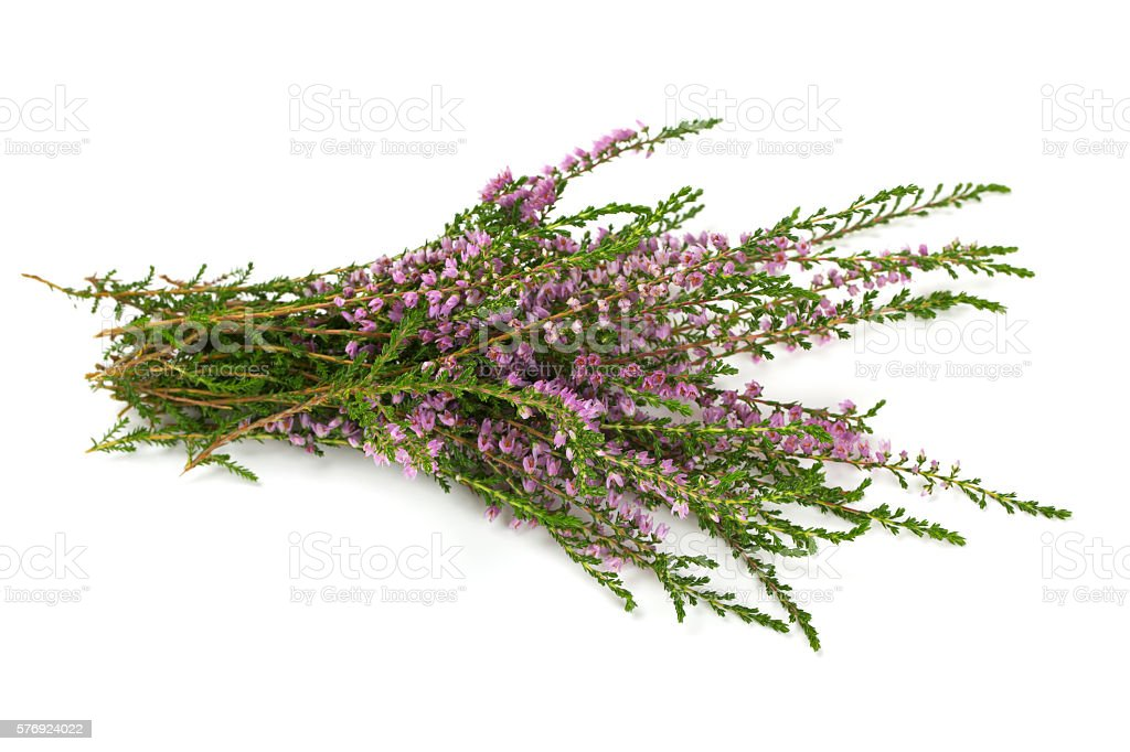 heather isolated on white backrgound stock photo