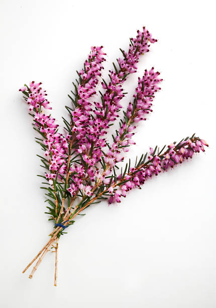 Heather A sprig, or bunch, of heather heather stock pictures, royalty-free photos & images