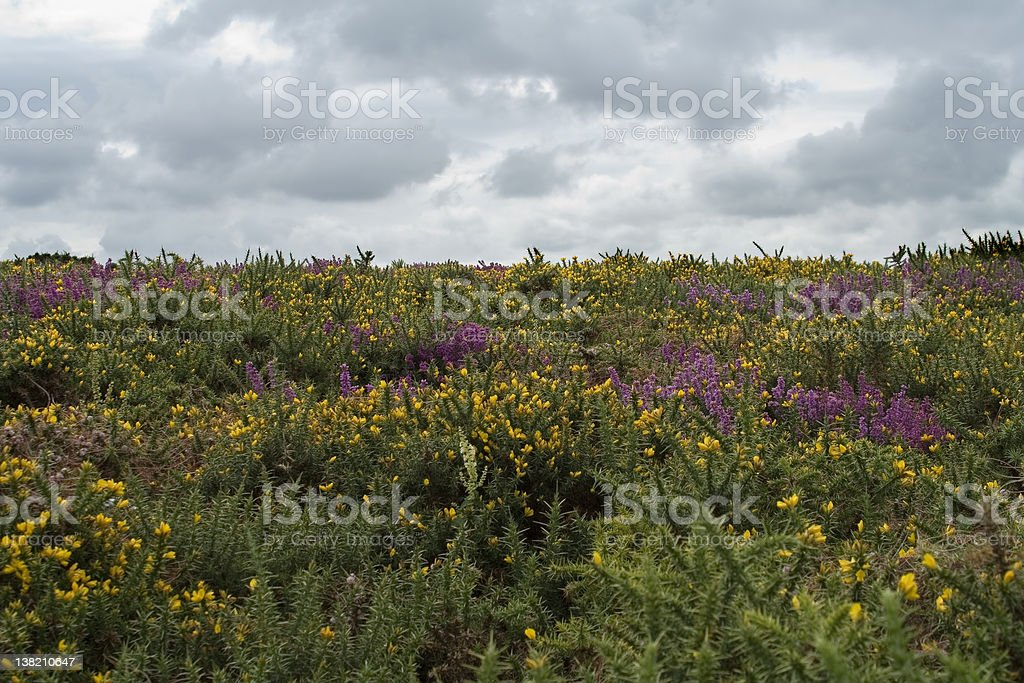 Heather royalty-free stock photo