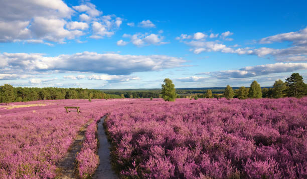 heather pink heather landscape with a blue sky lower saxony stock pictures, royalty-free photos & images